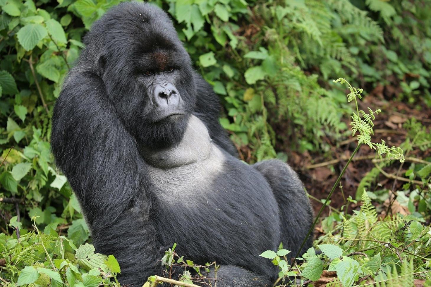 Saving Africa's endangered mountain gorilla