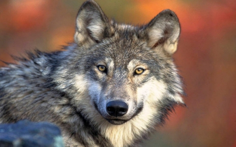 Thumbnail image for Feds appeal judge's order to protect gray wolves