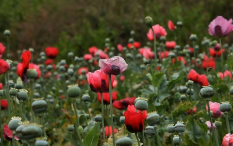 Thumbnail image for Government neglect drives Mexico's poppy farmers into drug trade