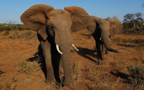 Thumbnail image for Wild African elephants on verge of extinction, say experts