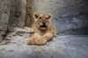 Gaza Lion Cubs