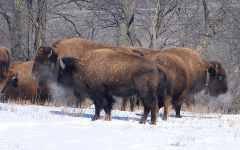 Thumbnail image for Bringing bison back: Rewilding America's heartland