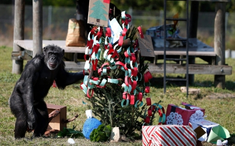 Chimp with Christmas tree