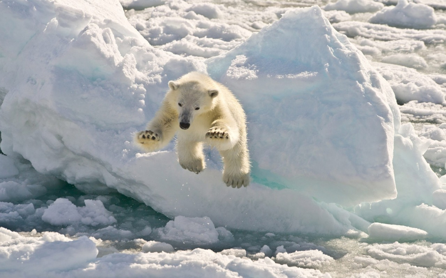 Polar Bears Can't Thrive On Land-Based Diet