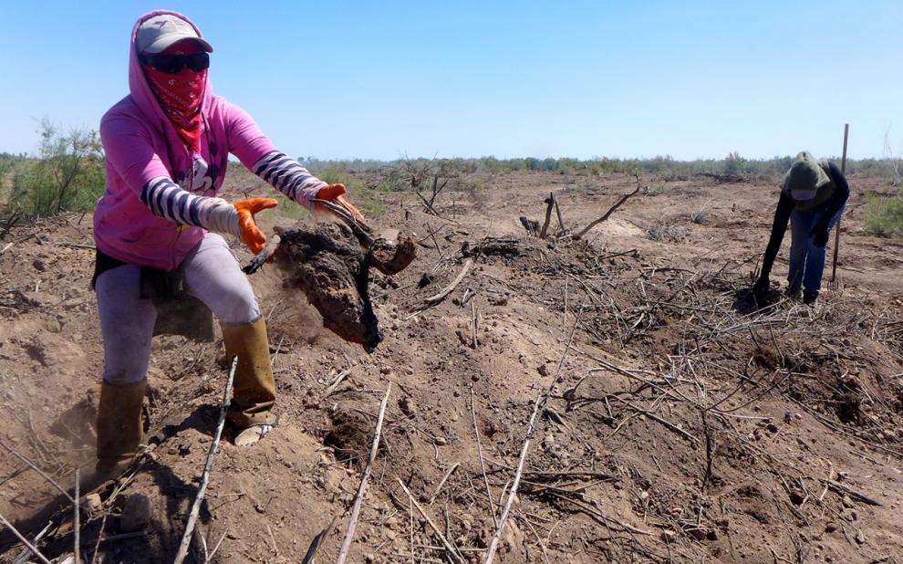 Sonoran Institute worker Estela Felix (left) hacks away at salt cedar root close to the Colorado River