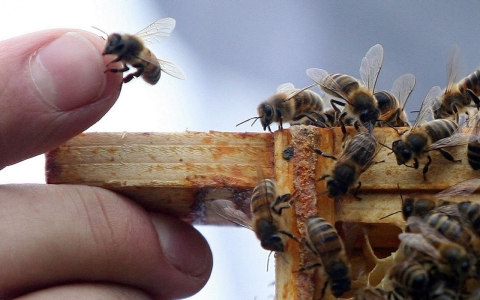Thumbnail image for Plan bee: White House recommends steps to save dwindling pollinators