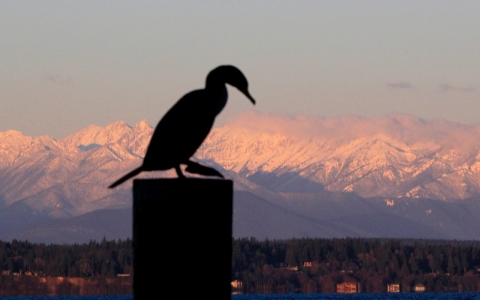 Thumbnail image for Govt to cull 10000 cormorants to protect Columbia River salmon