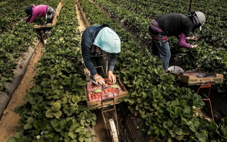 Strawberry pickers strain to see fruits of their labor, even after strike