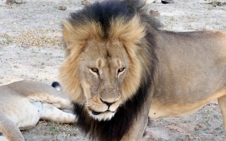 As anger at US hunter grows, aides to illegal Cecil lion hunt go to court