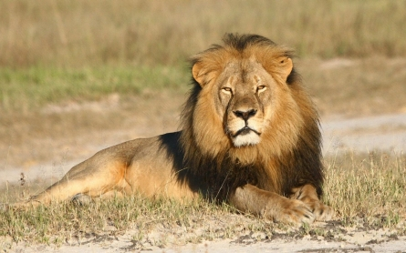 Zimbabwe accuses 2nd American of illegal lion hunt