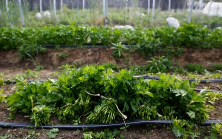 Cilantro-linked infection sickens hundreds