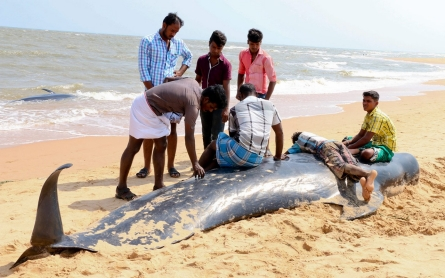 More than 80 whales beached on Indian shores