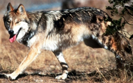 Plan to restore Mexican gray wolf stirs suspicion in West