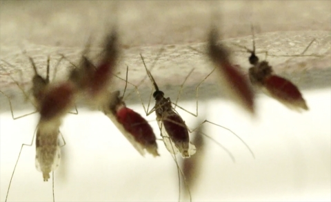 Thumbnail image for How to make genetically modified mosquitoes