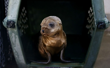 In warming ocean, record number of seals and sea lions sicken and starve