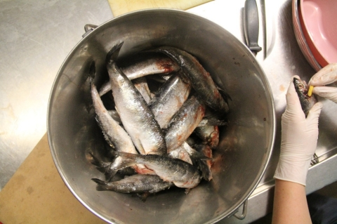 A bucket of herring, the fish that the Marine Mammal Center uses to feed their pinnipeds.