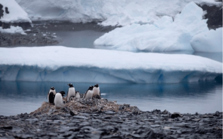 Antarctic iceberg nearly erases Adelie penguin population