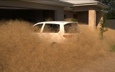 Australian town inundated by hairy panic tumbleweed
