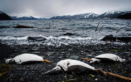 In Alaska, warmer sea temperatures blamed for bird deaths