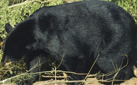 Thumbnail image for Black bears of Ohio return to natural habitat