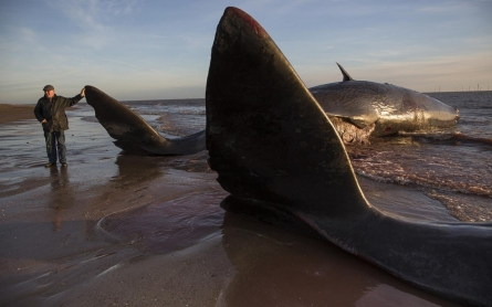Sixth sperm whale dies on British beach