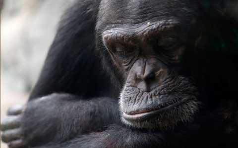 Thumbnail image for Ebola has killed third of world's gorillas, chimpanzees
