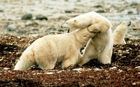 Thumbnail image for Pollution punishes polar bear penises