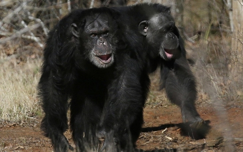 Thumbnail image for Humans encroach on Cameroon's rare chimps