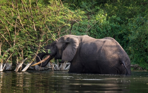 A bull elephant bathes and drinks water in Lake Edward inside Virunga National Park.