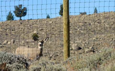 A mule deer faces a woven wire fence, one of the most difficult obstacles along the migration.