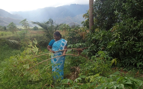 Ponnuthai Sappani harvests some yucca in the farm land that she manages, but that is technically owned by her husband.