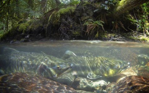 Thumbnail image for Return of the fish wars: Hatchery pits environmentalists against tribe