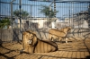 Zoo officials also blamed the cold November weather and an airstrike that Israel made on an Islamic Jihad training camp near the zoo on Tuesday, frightening the lioness and causing her to stomp on her offspring.