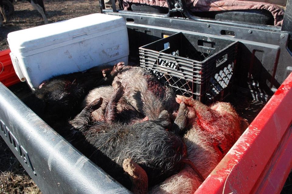 Hog Wild In Mississippi Al Jazeera America