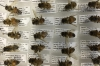 Labeled bee specimens in the lab of T.W. Leslie at Long Island University.