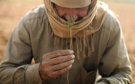 Photos: Harvesting hashish in Lebanon's Bekaa Valley
