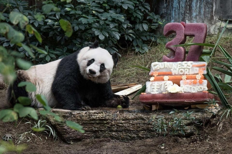 Photos Giant Panda Jia Jia Birthday Al Jazeera America