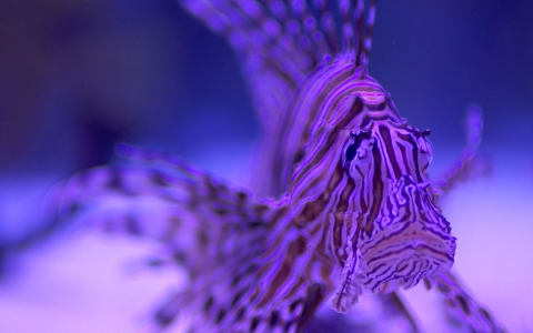 Thumbnail image for Hunting lionfish off the Florida coast
