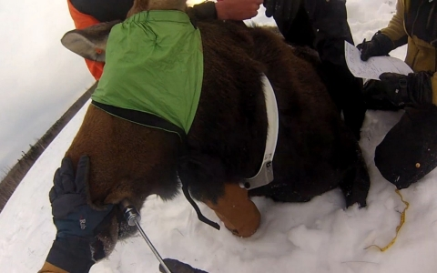 A moose being collared by a research team