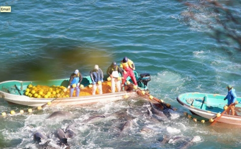 Thumbnail image for Japan dolphin hunting receives international criticism