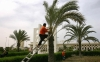 A Palestinian worker pruned a palm tree outside the Gaza Airport, in 2006, where planes had not landed for more than five years.