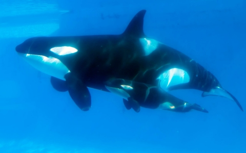 Thumbnail image for SeaWorld to build bigger enclosures for orcas after widespread criticism