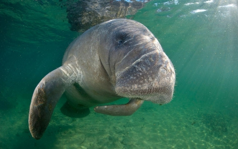 Thumbnail image for Reclassifying Florida manatees: From 'endangered' to 'threatened'