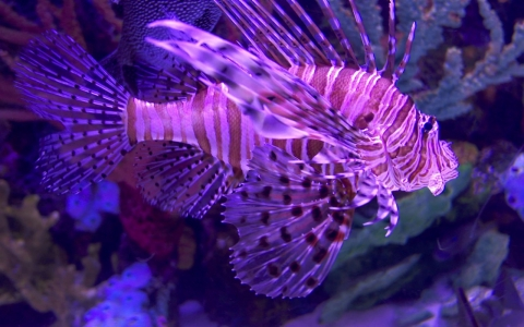 Thumbnail image for From aquarium to menace, lionfish threatens Florida waters