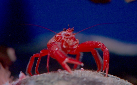 The pelagic red crab is one of the biggest harbingers of El Niño