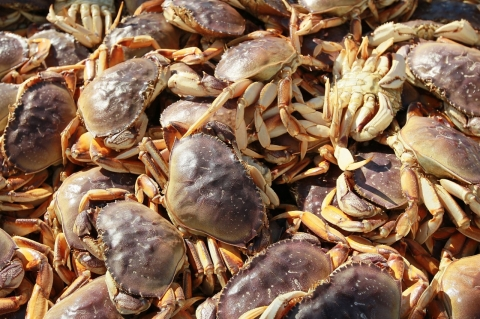 Late season algae blooms are affecting toxin levels in the Dungeness crab population