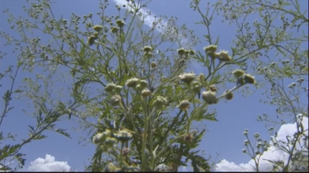 Famine weed in Kenya threatens malaria fight