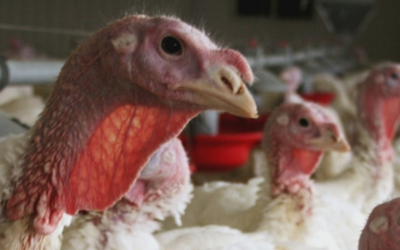 Minnesota declares state of emergency as farms are hit by Avian flu