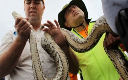 Hunters fan out in the Everglades to kill snakes
