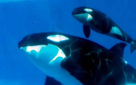 Killer whale show at SeaWorld to be scrapped